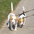 Beagle Spaziergang