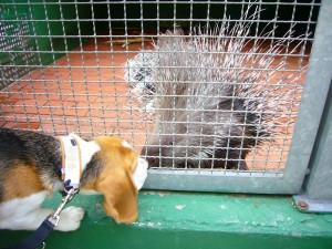 Beagle und Stachelschwein im Zoo Herford