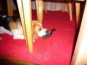 Beagle und toter Vogel