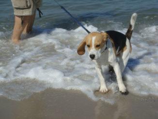 Beagle Murphy am Meer