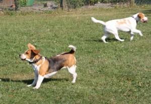Beagles bei Bielefeld
