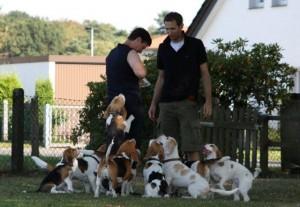 Beagles betteln
