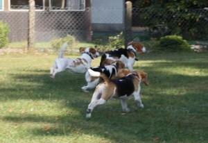 Beagles rennen