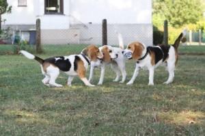 junge Beagles