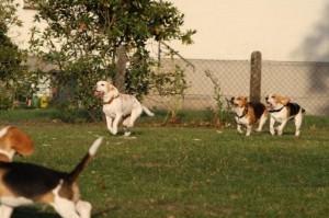 Beaglehündin rennt