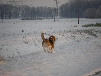 Beagle Beethoven im Schnee