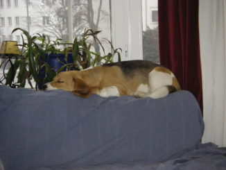 Beagle Beethoven im neuen Zuhause in Hannover