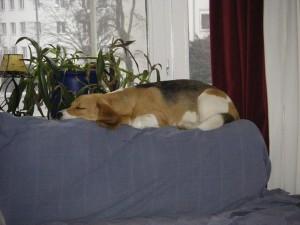 Beagles neuer Lieblingsplatz