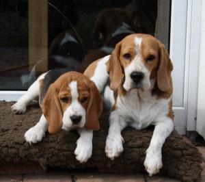 So süß: Beagle Odetta und Welpe Delia