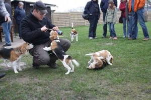Arme Beagle-Babys werden zum Bier-Konsum verführt