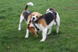 Beagle Brüder