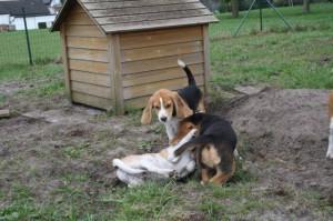Beaglewelpen spielen