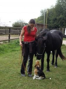 Beagle Beethoven mit Pferd
