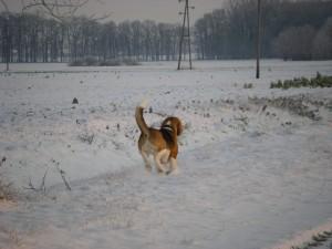 Beagle rennt im Schnee
