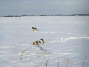 Beagles im Schnee Barsinghausen