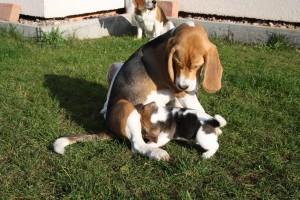 Beagle Beethoven mit den C-Welpen