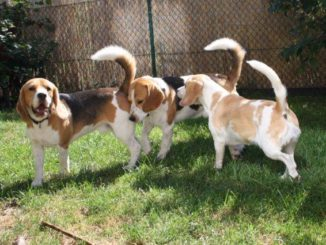 Beagles-B-Wurf