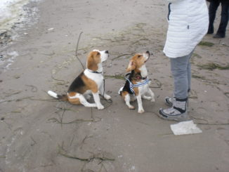 Beagles Paul und Emil an der Ostsee