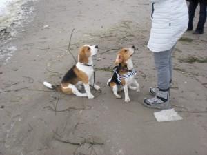 Beagles Paul und Emil am Ostsee-Strand
