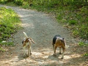 Beagles Neo und Caya