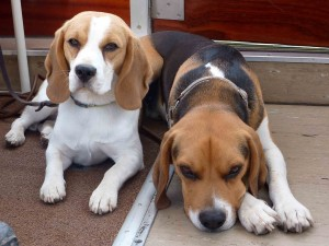 Beagles Neo und Caya chillen