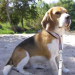 Beagle Beethoven am Strand