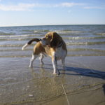 Beagle Beethoven in Zierow am Strand