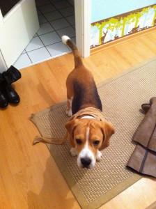 Beagle mit Nylon Strumpfhose