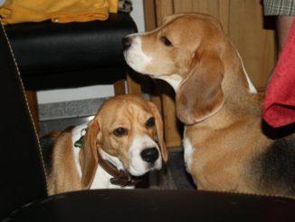 Beagles Emma und Beethoven