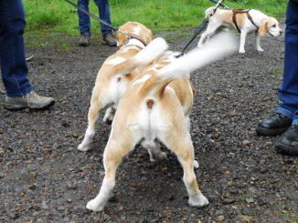 Beagles Hanno und Hilko