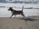Beagle Hanno am dänischen Strand
