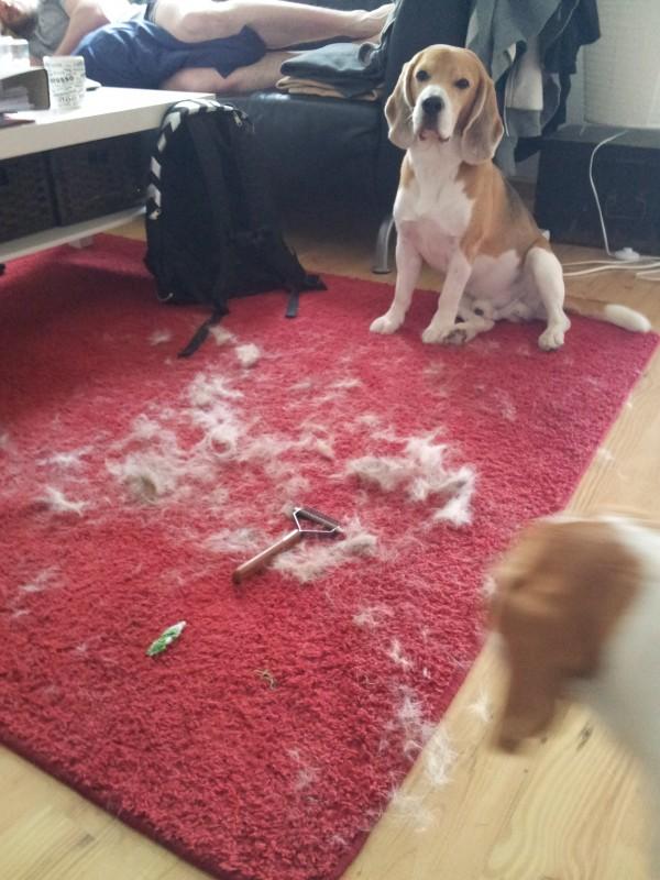 06-27 Beagle im Fellwechsel