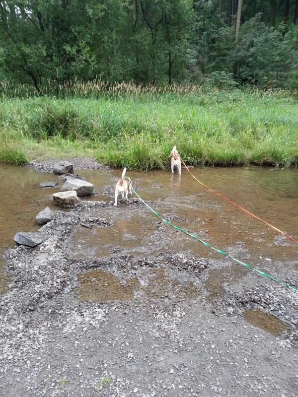 Beagles vom Deistertal im Harz