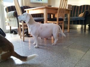 Beagle Yvi erwartet Welpen in den nächsten TAgen