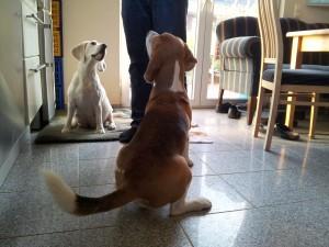 Beagles Yvi und Beethoven. Yvi bekommt morgen Welpen