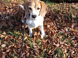 Beagle Paul (Donald)