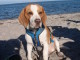Beagle Kasbar am Meer