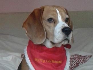 Beagle Don