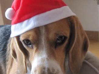 Beagle Paul Weihnachten