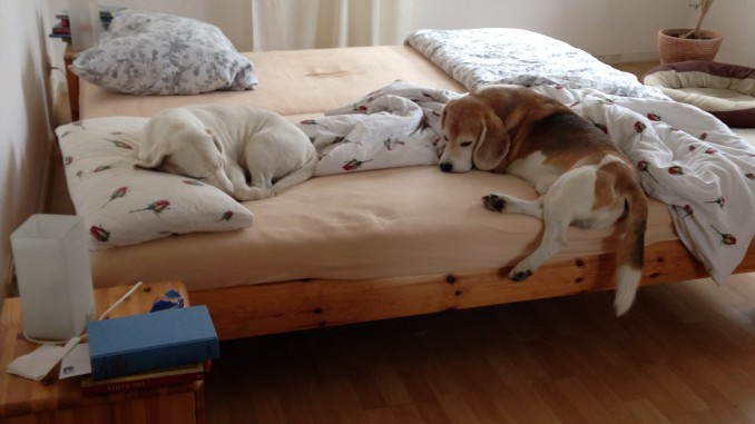 Beagles im Bett