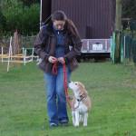 Beagle in der Hundeschule