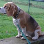 Beagle im PHV Kirchdorf