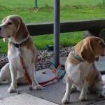 Beagles warten am Rande des RallyO-Tuniers