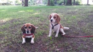 Beagles Lexy und Jara