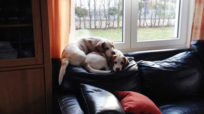 Beagles Hermine und Nelli