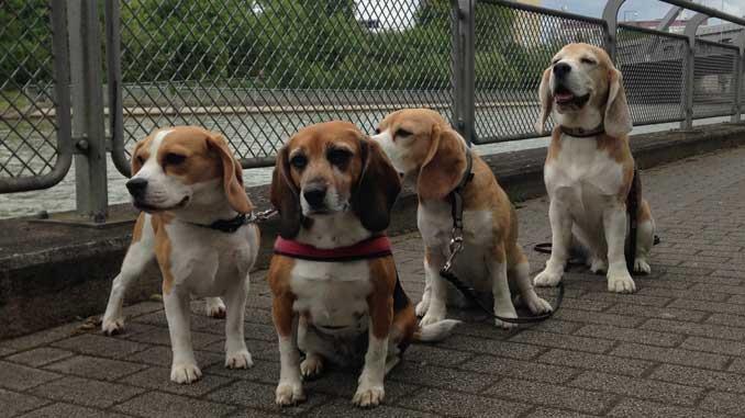 Beagles Jara, Lexy, Indira und Beethoven