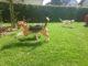 Beagletreffen Juli 2016: Toben im Garten