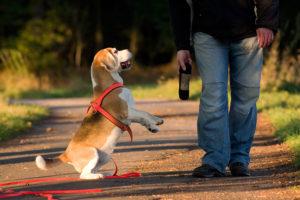 Beagle Arbeit mit dem Dummy