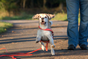 Beagle Beethoven jagd Dummy