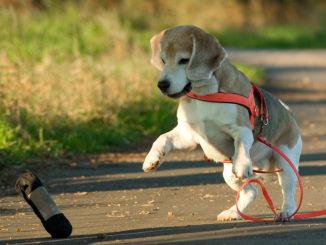 Beagle Dummyarbeit